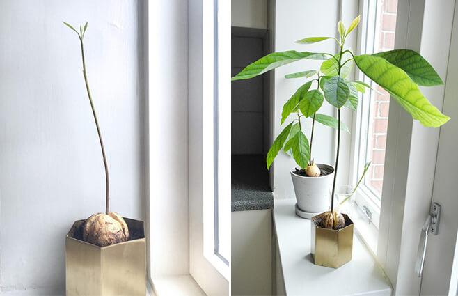 Til avocado-elskeren: Sådan laver du dit eget avocadotræ